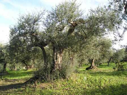 Rossano: cade dall'albero raccogliendo olive, morto