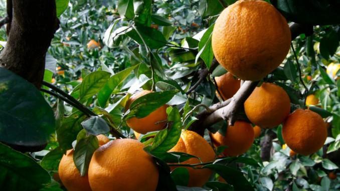 Agrumi di Calabria: nei supermercati tutta la qualit� del succo calabrese