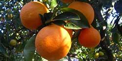 Rosarno: contro sfruttamento immigrati sciopero aranciata