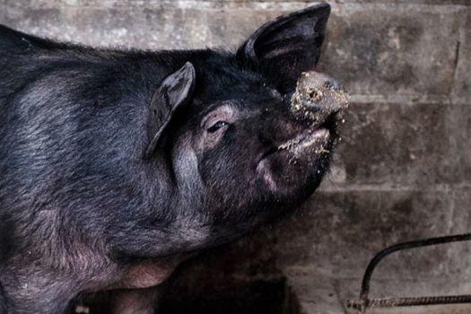A Reggio Calabria l'evento di arte culinaria Pig, del porco calabro non si butta via niente
